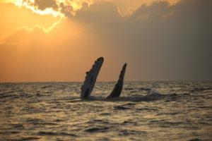 Wal im Sonnenuntergang
